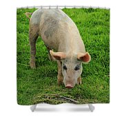 Pig Foraging Shower Curtain