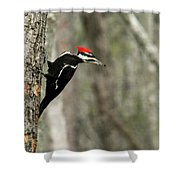 Pileated Woodpecker Looking For A Perspective Mate Shower Curtain