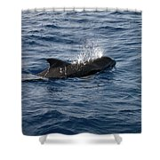 Pilot Whale 6 Shower Curtain