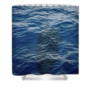 Pilot Whale 8  Shower Curtain