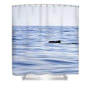 Pilot Whales 2 Shower Curtain