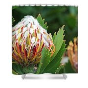 Pincushion Protea Shower Curtain