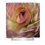 Pink And White Ranunculus Shower Curtain