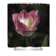 Pink And White Tulip Squared 2 Shower Curtain