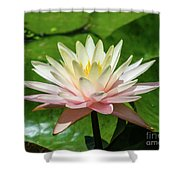 Pink And White Water Lily Shower Curtain