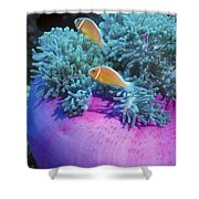 Pink Anemonefish Protect Their Purple Shower Curtain by Michael Wood