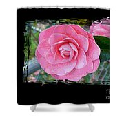 Pink Camellias With Fence And Framing Shower Curtain