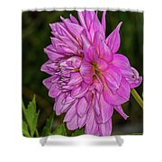 Pink Dahlia 2 Shower Curtain