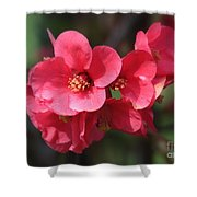 Pink Flowering Quince Shower Curtain