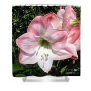 Pink Hippeastrum 01 Shower Curtain
