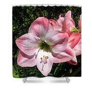 Pink Hippeastrum 02 Shower Curtain