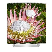 Pink King Protea Flowers Shower Curtain