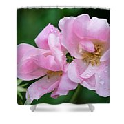 Pink Knockout Rose After The Rain Shower Curtain