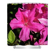 Pink Lilies Blooming Shower Curtain