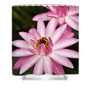 Pink Lotus Blossoms Shower Curtain