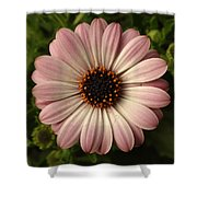Pink Osteospermum Shower Curtain