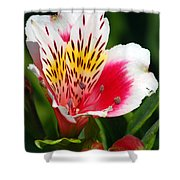 Pink Peruvian Lily 1 Shower Curtain