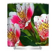 Pink Peruvian Lily 2 Shower Curtain