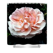 Pink Rose 4 Shower Curtain