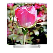 Pink - Rose Bud - Beauty Shower Curtain