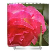 Pink Rose Shower Curtain by Kelly Hazel