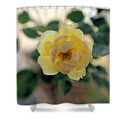 Pink Tipped Yellow Rose Shower Curtain