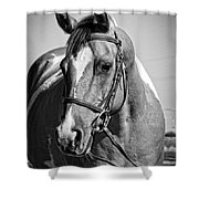 Pinto Pony Portrait Black And White Shower Curtain
