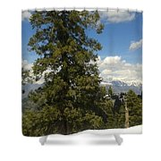 Pinus Tress  Shower Curtain