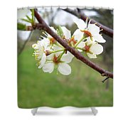 Plum Blossoms In Spring Shower Curtain