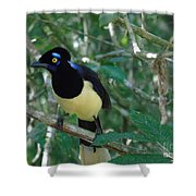 Plush-crested Jay   Cyanocorax Chrysops Shower Curtain