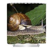 Pneumostome Of A Burgundy Snail Shower Curtain