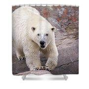 Polar Bear Prowl  Shower Curtain