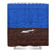 Polar Bear Rolling In Tundra Grass Shower Curtain