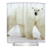 Polar Bear Ursus Maritimus Male Shower Curtain