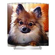 Pomeranian Contemplation Shower Curtain