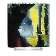 Portrait Of A Cortez Angelfish Shower Curtain