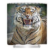 Portrait Of A Growling Tiger  Shower Curtain