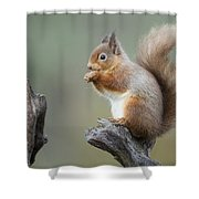 Portrait Of A Red Squirrel  Shower Curtain