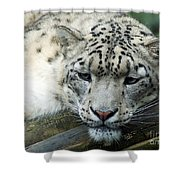 Portrait Of A Snow Leopard Shower Curtain