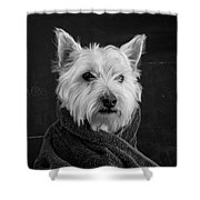 Portrait Of A Westie Dog 8x10 Ratio Shower Curtain