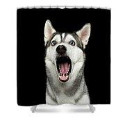 Portrait Of Amazement Siberian Husky Shower Curtain by Sergey Taran