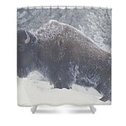 Portrait Of An American Bison Shower Curtain