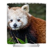 Portrait Of Cini The Red Panda Shower Curtain
