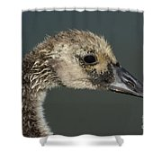 Portrait Of Month Old Canada Goose Gosling Shower Curtain