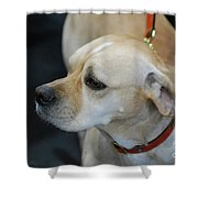 Portuguese Pointer Dog On A Leash Shower Curtain