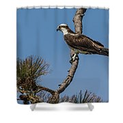 Posing Osprey Shower Curtain