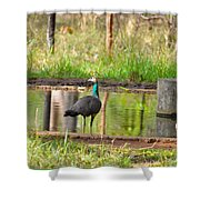 Posing Peahen Shower Curtain