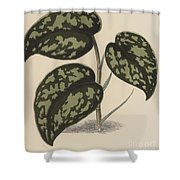 Pothos Argyraea Shower Curtain