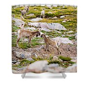 Practicing Baby Bighorn Sheep On Mount Evans Colorado Shower Curtain