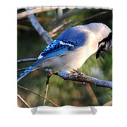 Praying Blue Jay Shower Curtain